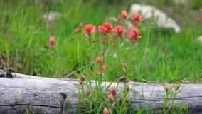 Flores do pincel indiano em Utá imagens de stock royalty free