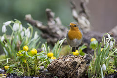 Flores do pisco de peito vermelho e da primavera Imagem de Stock Royalty Free