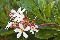 flores do plumeria Foto de Stock
