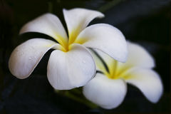 Flores do Plumeria Foto de Stock Royalty Free