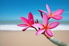 Flores do Plumeria Foto de Stock