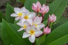 Flores do Plumeria Imagens de Stock