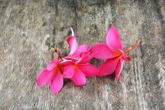 Flores do Plumeria Fotos de Stock Royalty Free