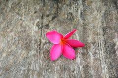 Flores do Plumeria Fotografia de Stock