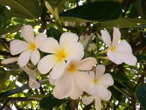 Flores do Plumeria Imagem de Stock Royalty Free