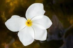 Flores do Plumeria com gotas da água foto de stock