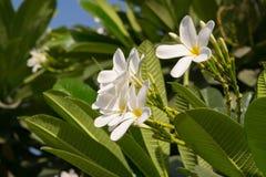 Flores do Plumeria conhecidas popularmente como Champa na Índia Fotos de Stock Royalty Free