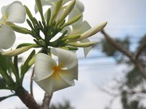Flores do Plumeria germine e do florescência Foto de Stock Royalty Free