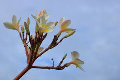 Flores do Plumeria no céu azul com nuvem Imagem de Stock Royalty Free