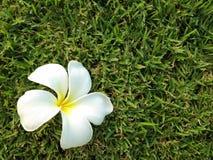 Flores do Plumeria no fundo do verde de grama, Leelavadee Foto de Stock Royalty Free