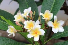 Flores do Plumeria ou do Frangipani Imagens de Stock Royalty Free
