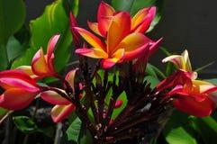 Flores do Plumeria ou do Frangipani Imagens de Stock