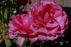 Flores do ponto da ação de graças Imagens de Stock