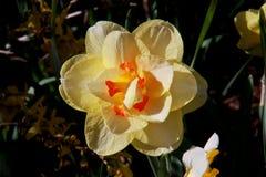 Flores do ponto da ação de graças Fotos de Stock Royalty Free