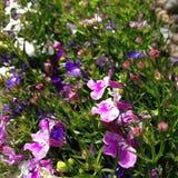 Flores do prado Imagens de Stock Royalty Free