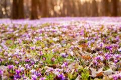 Flores do prado do açafrão Fotografia de Stock Royalty Free