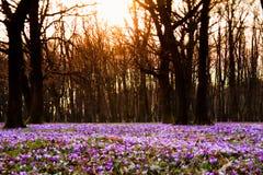 Flores do prado do açafrão Imagem de Stock