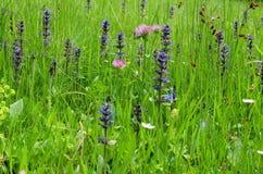 Flores do prado no prado da montanha Imagens de Stock Royalty Free