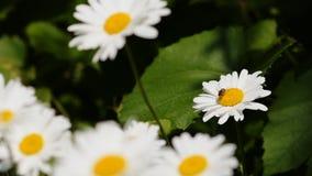 Flores do prado que balançam no vento Uma abelha coleta o néctar filme