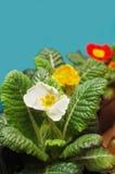 Flores do Primrose Fotografia de Stock