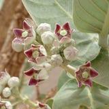 Flores do procera de Calotropis imagem de stock