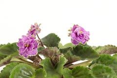 Flores do quarto Fotos de Stock