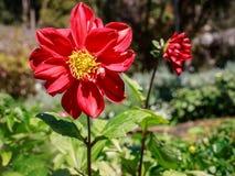 Flores do Rad Fotos de Stock Royalty Free
