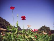 Flores do Rad com céu azul Imagem de Stock
