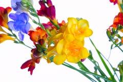 Flores do ramalhete da frésia Fotos de Stock