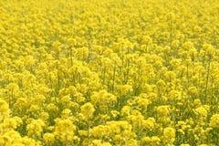 Flores do Rapeseed imagem de stock