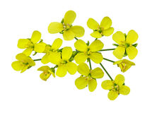 Flores do Rapeseed Imagens de Stock Royalty Free