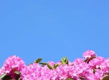 Flores do Rhododendron Foto de Stock