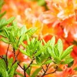 Flores do rododendro da beleza Imagens de Stock Royalty Free