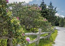 Flores do rododendro perto de uma cerca velha em Grayson Highlands State Park foto de stock