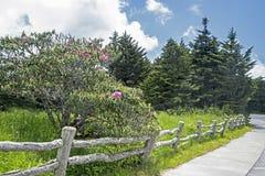 Flores do rododendro perto de uma cerca velha em Grayson Highlands State Park fotos de stock royalty free