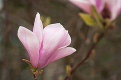 flores do rosa da magnólia na mola imagens de stock