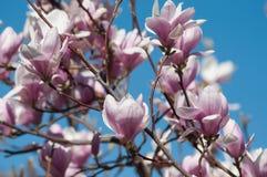 flores do rosa da magn?lia na mola fotos de stock royalty free
