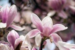 flores do rosa da magn?lia na mola fotografia de stock