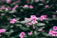 Flores do rosa da mola com folhas verdes Fundo da natureza fotos de stock royalty free