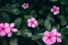 Flores do rosa da mola com folhas verdes Fundo da natureza foto de stock royalty free