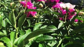 Flores do rosa da pe?nia no jardim vídeos de arquivo