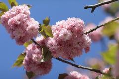 Flores do rosa de Sakura Spring foto de stock royalty free