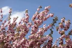 Flores do rosa de Sakura Spring imagem de stock
