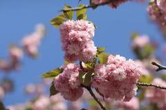 Flores do rosa de Sakura Spring fotografia de stock