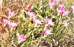 Flores do rosa do céu de Lotus Imagem de Stock