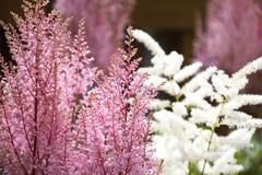 Flores do rosa e as brancas do Astilbe imagens de stock royalty free