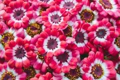 Flores do rosa e as brancas do cineraria que florescem em um potenciômetro imagens de stock royalty free