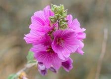 Flores do rosea do Alcea da malva rosa imagens de stock