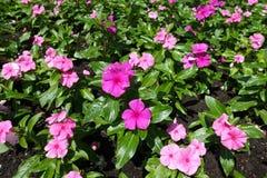 Flores do roseus do Catharanthus nas máscaras do rosa Foto de Stock