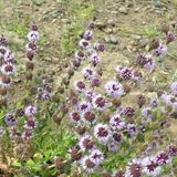 Flores do roxo da astúcia Imagem de Stock